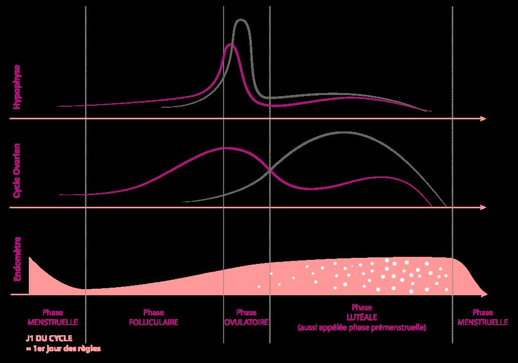 cycle menstruel schéma